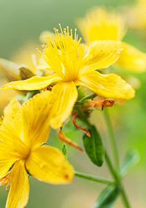 Do Kava and St. Johns Wort react together?