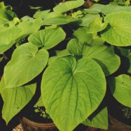 Kava and Liver Toxicity