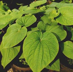 Kava - Healer and Houseplant
