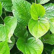 A Resurgence of Fear: Is Kava Dangerous?