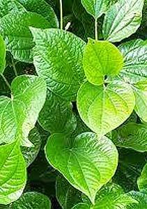 A Resurgence of Fear: Is Kava Really Dangerous?