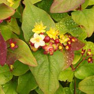 Kavalovetone – A Pleasant Herbal Blend