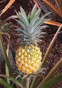 Kava and Other Hawaiian Crops