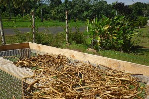 farm_harvesting-kava-roots