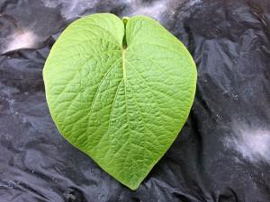 mahakea-kava-leaf_800